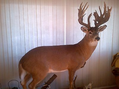 Giant whitetail deer mount/specimen. Display or collection.