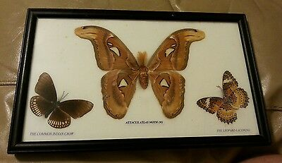 Butterfly Taxidermy-Attacus Atlas Moth + Common Indian Crow, Leopard Lacewing