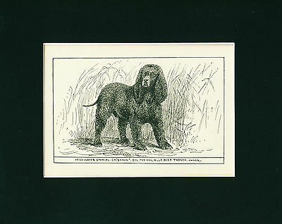 Dog Art Print 1900 Irish Water Spaniel Dog ANTIQUE