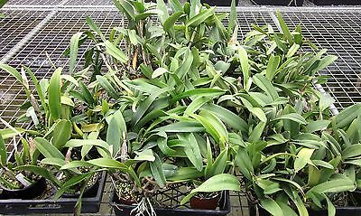 RON. Orchid deal. End of Line Clearance of FS Cattleyas - lucky dip (8408)