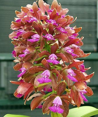 RON. Orchid. C. leopoldii 'SVO' AM/AOS x C. leopoldii 'Paul' 'SVO' AM/AOS