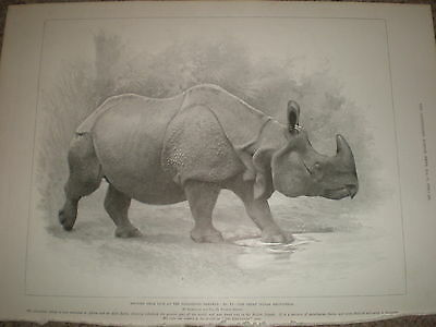 Sketches from life at Zoologocal Gardens India Rhino by Lascelles 1899 old print
