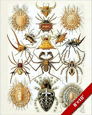 Arachnid Spider Spiders Scientific Class Drawing Real Canvas Giclee 8X10 Print