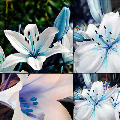 50PC Blue Rare Lily Bulbs Seeds Planting Lilium Perfume Flower Garden Decor TR