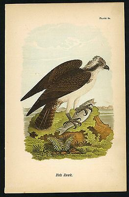FISH HAWK, Vintage 1890 Chromolithograph, Color Bird Print Antique, 080
