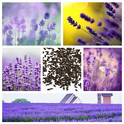 400PCS Untreated Herb Seeds Garden Deocr purple Lavender English Seeds Organic