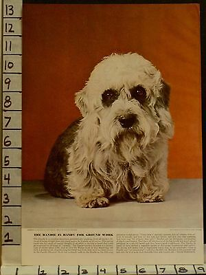 1941 Dandie Dinmont Terrier Club Kennel Breed Pedigree Dog Photo  2300123001