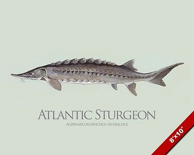 Atlantic Sturgeon Fish Painting Fishing Art Real Canvas Print