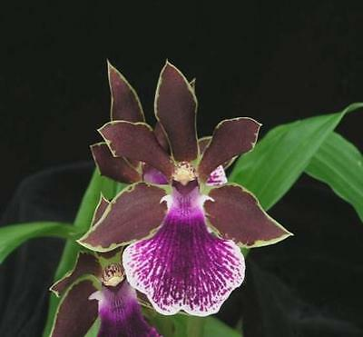Zygopetalum Volcano Queen ' Tropic House '