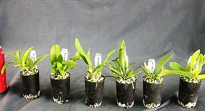 RON. Special Bulk Orchid deal. 6 x Quality Cattleya Clones in tubes (9622)