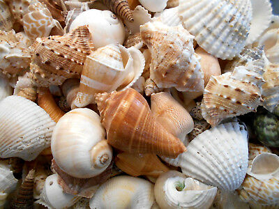 1 lb Large Indian Ocean Shell Mix Seashells Beach Cottage Decor Nautical Crafts