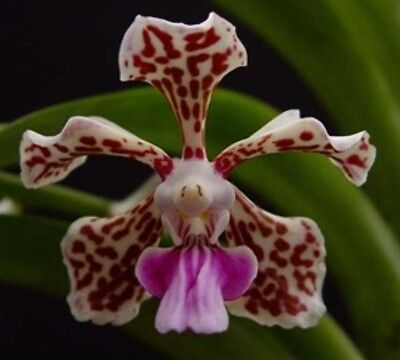 RON Vanda Orchid. advanced size - V. tricolor - species