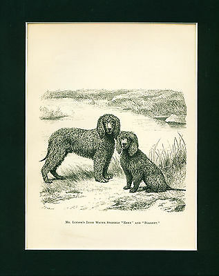 ANTIQUE Dog Print 1878 Irish Water Spaniel Dogs