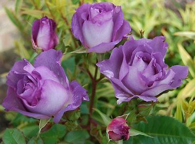 Blue For You Bush Rose - 5.5L Pot Garden Patio Seedling Strong Scent