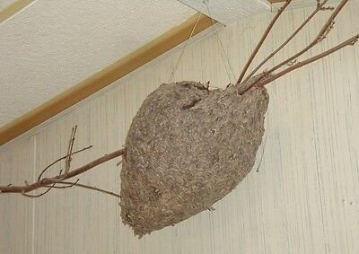 "very old huge wasp paper nest 22"" x 13"" (nest size) without branches 2 hole"
