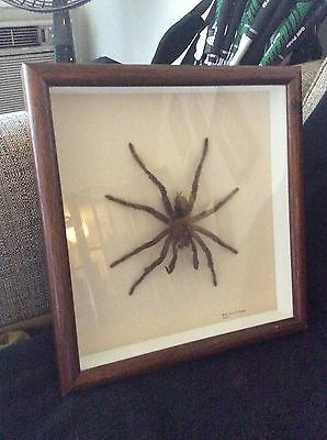 Unique Real Tarantula (Bird Eating Spider - Peru) Mounted in Shadow Box Frame