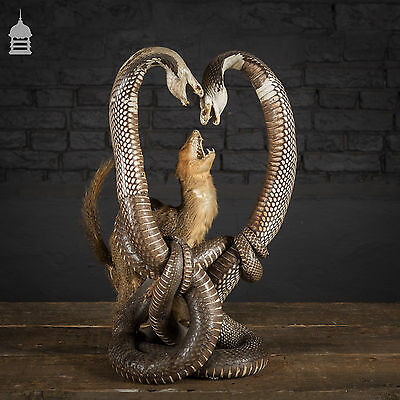 19th C Taxidermy Pair of Cobras Entwined with Mongoose