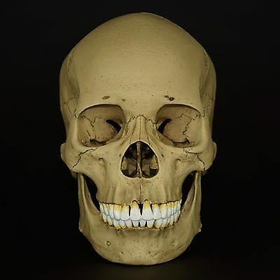 Human Female Asian Adult Skull Replica ( Real Size ) / Vintage Finish