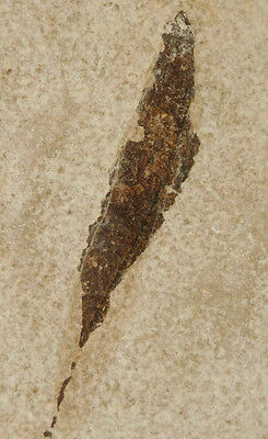 A Nice 100% NATURAL! 50 Million Year Old Fossil LEAF Green River Formation 244gr