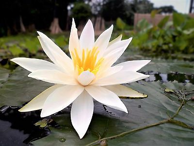 Nymphaea Pubescens White 15/500/2000 Seeds, Hairy Water Lily For Aquarium Ponds