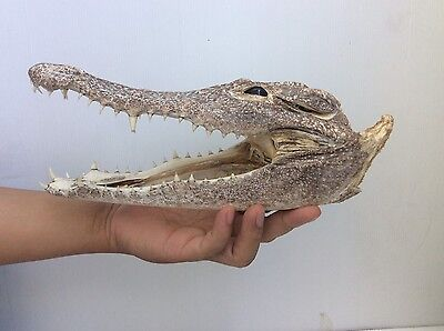 Real Rare 100% Genuine Freshwater Crocodile Skull Taxidermy Head Collection HTF