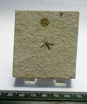 FOSSIL FLY INSECT MARCH PLECIA PEALEI WYOMING USA fa22