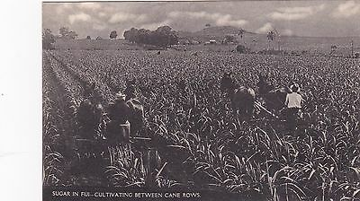 Sugar in Fiji , Cultivating between cane rows with Mules, 20-30s