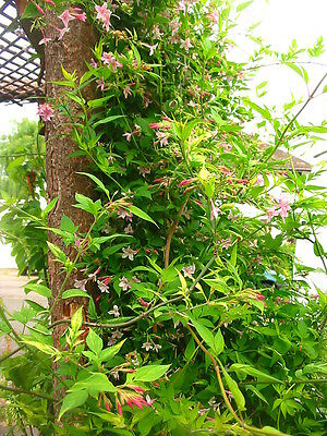 5ft Jasmine stephenese - pink, fragrant, very hardy - LARGE 5ft plant, 10litre