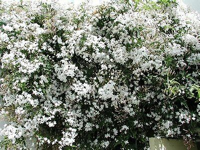 5ft Jasmine officianale - white, fragrant,hardy - 10litre, 5ft inc. pot