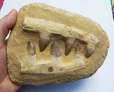 GENUINE MOSASAUR FOSSIL SIX LARGE TEETH & JAW in MATRIX MOROCCO 1300g 120mm fa88