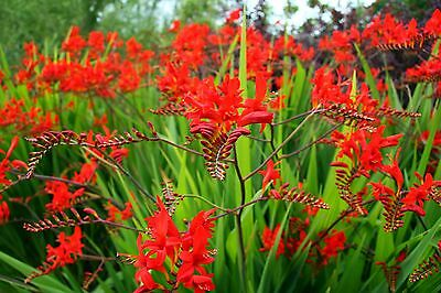 20 Crocosmia Lucifer Gardening Bulb Beautiful Spring Summer Flower Perennial New