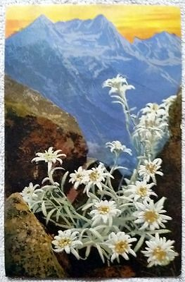 Old German Art postcard Alpine White Edelweiss Flower Painting