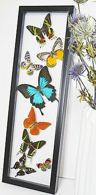 Butterfly collection SALE WAS $170 now $99 real butterflies in shadowbox  BFS8