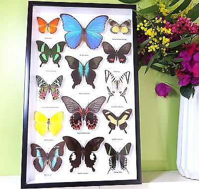 Butterfly collection for sale real butterflies in shadowbox mulit colours BRB