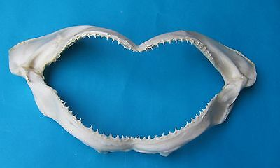 """17 """"Wide Spinner shark JAW - Carcharhinus brevipinna- mouth jaw taxidermy Mis-76"""