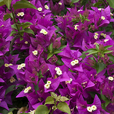 Bougainvillea Pink Pillar in a 3L Pot 1.4m Tall