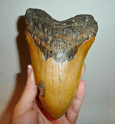 """DINO: WOW! Huge MEGALODON TOOTH - 5.25"""" - 255 gr."""