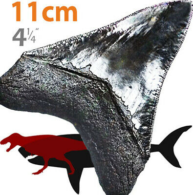 "MEGALODON 4 1/4"" (11cm) * awesome serrations * shark tooth fossil best replica"