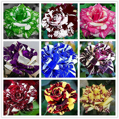 Mix 100 PCS Rose Seeds Tiger Striped Rare Bonsai Flower Plant Seed Garden Plants