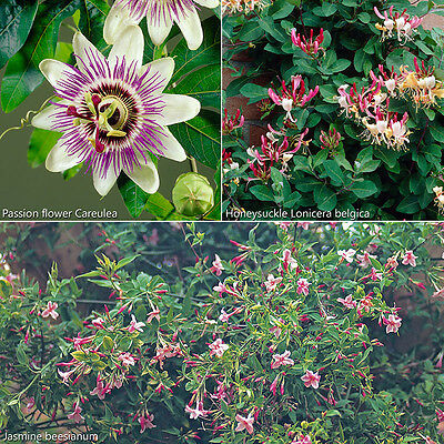 3 Climbing Plants in 9cm Pots Passion Flower Honeysuckle Jasmine