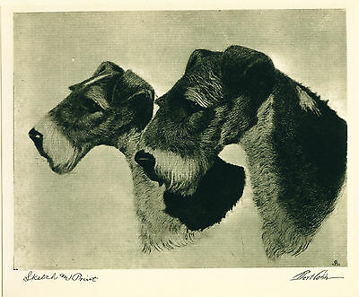 Dog Print 1931 Wire Fox Terrier Dogs by Bert Cobb VINTAGE