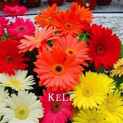 100 Pcs/Bag Promotion!Gerbera Daisy Hybrids Mix Flower Seeds Bonsai plants easy