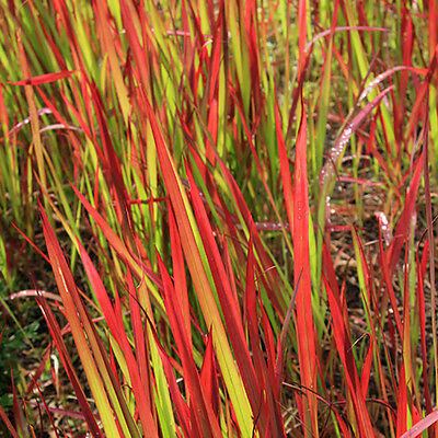 Perennial Imperata Japanese Blood Grass 'Red Baron' Pack of 3 Plants in 9cm Pots