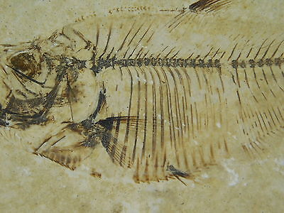 A 100% Natural Diplomystus Fossil Fish With X-RAY Like Bones! Wyoming 277gr