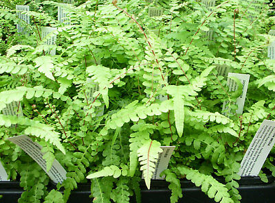 Doodia media - Common Rasp Fern - Top Aussie Native!