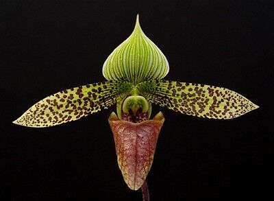 Paphiopedilum sukhakulii SELECT CLONE flowering size, orchid species