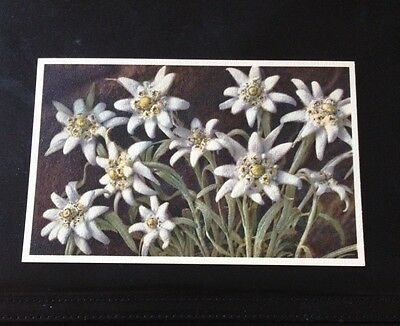 Postcard Vintage Swiss Alpine Flowers Eidelweiss Unused
