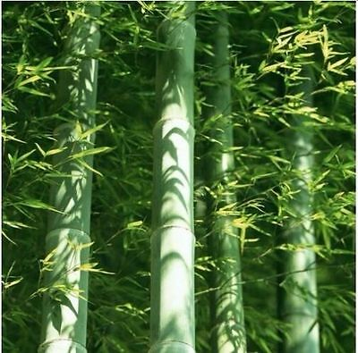 100 x Moso Bamboo Hardy & Rare Seeds -4 Giant Plant Phyllostachys Edulis Outdoor