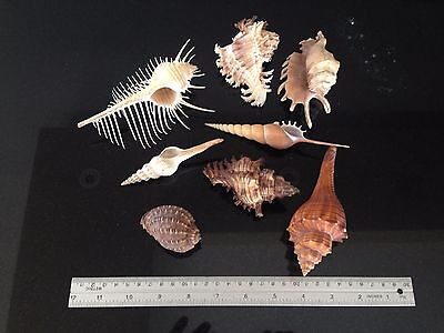 Collection of Fancy and Delicate Small/Medium Size Sea Shells