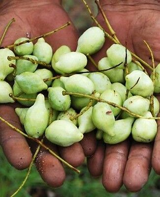 KAKADU PLUM,SEEDS,SUPERFOOD,Bush tucker,Terminalia ferdinandiana,Fruit Tree
